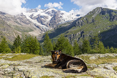 my dearest friend (Tiziano Photography) Tags: dog mountains summer gressoney santanna weston monterosa trees sky clouds glacier nikond610 d610 nikon cane montagna estate alberi cielo nuvole ghiacciaio