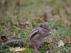 Furry Friend (hasham2) Tags: mammal wildlife urban park squirrel leaves fall weather dof canon 5dmk2 zoomlens