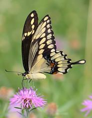 Giant Swallowtail (vischerferry) Tags: giantswallowtail swallowtail knapweed purplewildflower papiliocresphontes lepidoptera