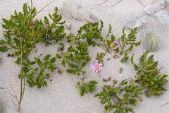 Senecio elegans (galanhsnu) Tags: senecioelegans senecio senecioneae asteroideae asteraceae asterales bettysbaybeach