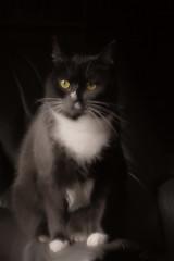 Luna (betadecay2000) Tags: luna black blackcat cat katze gatto gato miezekatze tier tiere animal animals animoux dier dieren haus haustier germany deutschland duitsland niemcy nimcy dunkel schwarzerhintergrund
