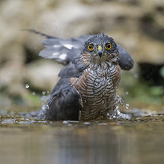 Sparrowhawk bathing (fr@nspelsmaekers) Tags: accipiternisus sparrowhawk epervierdeurope sperwer sperber
