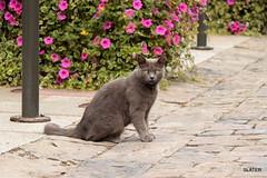 Gato Breton posando'' (slater665) Tags: gato cat animal minino bretaña