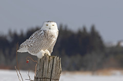 Snowy owl on old post (Jim Cumming) Tags: snowyowl nature wildlife winter snow avian canada beauty