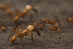 Standing Guard (antonsrkn) Tags: eciton ecitonhamatum armyant armyants ants ant hymenoptera insect insects swarm hive bugs entomology macro closeup peru losamigos madrededios southamerica mandibles behavior jungle amazonrainforest nikon