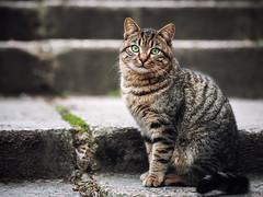 Street cat 210 (Igor A.T.) Tags: cat cats кот кошка котка kedi chat feline kat katze katzen kot kotka pet felino kottur katte kass kitty gato kocka gatta katzchen кiт streetcat 5d 100mm canon