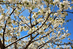 Cherry blossoms in Valle del Jerte, Extremadura (Travel around Spain) Tags: cerezo florecer cerezosenflor valledeljerte caceres extremadura españa europa árbol primavera paisaje naturaleza campo rural