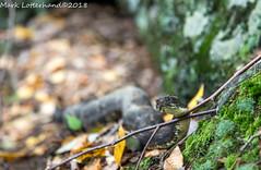 Timber Rattlesnake (Lotterhand) Tags: timber rattlesnake den new york