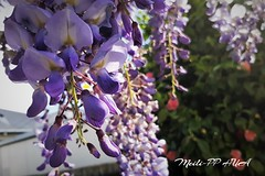 517. WISTERIA 2018: Purple Pendulums (Meili-PP Hua 2) Tags: flowers plants flower buds petals blossoms blooms spring mlppflora photographypassionsxyz pink lilac white sky purple wisteria tree boughs trees purplewisteria macro flowermacro macroflowers