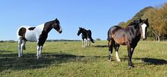 The Boys' Field (R~P~M) Tags: horse equine field farm waddesdon bucks buckinghamshire england uk unitedkingdom greatbritain animal