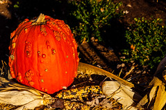 Pumkin In The Fall Sunlight (Harold Brown) Tags: canton corn fall flowersplants gervasi gervasivineyard gervasiwinery nikon nikond90 ohio outdoor plant plants pumkin starkcounty usa vineyard winery bhagavideocom haroldbrowncom harolddashbrowncom photosbhagavideocom haroldbrown
