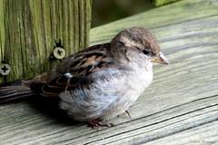 Fluffy Female House Sparrow (Anne Ahearne) Tags: wild bird animal nature wildlife closeup portrait cute sparrow housesparrow