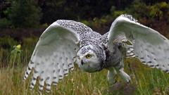 Robert Snowy Owl CRC IMG_5589 (Jennz World) Tags: ©jennifermlivick canadianraptorconservancy vittoria ontario canada raptors raptor bird snowyowl owl