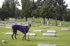 Haunting the Cemetery (houndstooth4) Tags: dog greyhound flattery springdalecemetery 4152 52weeksfordogs