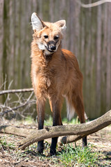 180323 National Zoological Park-04.jpg (Bruce Batten) Tags: animals businessresearchtrips locations mammals nationalzoologicalpark occasions plants subjects terrestrial trips usa vertebrates washingtondc zoos