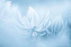 How Long ? (Anna Kwa) Tags: flowers macro bokeh art nature annakwa nikon d750 1050mmf28 my blue always seeing heart soul throughmylens time life journey space dream feel