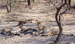 Wake Up Cheetahs (Nebelang) Tags: sunrise dawn brothers together wakeup cheetah cheetahs parque nacional kruger national park sudafrica southafrica reserva privada private reserve moditlo river lodge septiembre september guepardo guepardos