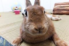 Ichigo san 1385 (Ichigo Miyama) Tags: ichigo san 1385いちごさん ichigo sanrabbit bunny cute netherlanddwarf brown ネザーランドドワーフ ペット うさぎ 小動物 ウサギrabbit いちご ウサギ