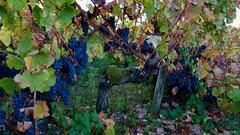 Arbois & Pupillin Couleurs d'automne (WoPeR 25 ☘️) Tags: france francia frankreich franchecomté franchecomte jura vignobles vignoble vigne vignes arbois pupillin vindujura vin vins