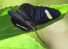 Pheles atricolor atricolor (Birdernaturalist) Tags: bolivia lepidoptera richhoyer riodinidae butterfly metalmark