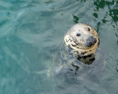 Here's looking at you (jmary124) Tags: ocean seal summer