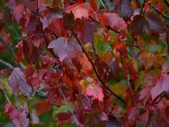 Red Maple (Dendroica cerulea) Tags: redmaple acerrubrum acer hippocastanoideae sapindaceae sapindales maple tree leaves foliage whitesbog whitesbogvillage brendantbyrnestateforest lebanonstateforest pinebarrens newjerseypinelands burlingtoncounty nj newjersey