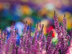 Life is colorful (Karsten Gieselmann) Tags: 40150mmf28 bokeh dof em5markii erica ericaceae erika farbe heidekraut herbst jahreszeiten lila mzuiko microfourthirds natur olympus pflanzen schärfentiefe strauch sträucher autumn bush bushes color fall kgiesel m43 mft nature plants purple seasons violett