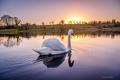 Sailing Into the Sunset (cogy) Tags: shannon river drumsna leitrim ireland landscape swan colour irelandshiddenheartlands discover discoverireland dusk evening autumn october