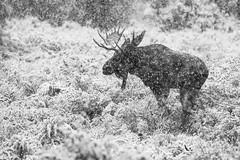 "A First Kiss  3I5836 (Dr DAD (Daniel A D'Auria MD)) Tags: moose mammals animals wildlife ""wildlifephotography"" ""animalphotography"" nature weather snow ""grandtetonnationalpark"" ""gtnp"" wyoming ""animalsofgrandtetonnationalpark"" ""children'swildlifebooksbydanielad'auriamd"" ""drdadbooks"" ""danielad'auriamd"" ""september2017"""