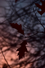 While it lasts (James_D_Images) Tags: fall autumn leaves foliage oak sunset dusk bare branches silhouettes