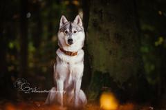 Pivka (Roos van Gent Photography) Tags: hondenfotografie hond dog dogphotography happy pet siberianhusky husky siberischehusky wolfgrey reflector