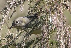 Cape May Warbler (Setophaga tigrina) 10-13-2018 Assateague I. NS--Bayside Point, Worcester Co. MD 1 (Birder20714) Tags: birds maryland warblers setophaga tigrina mbpready
