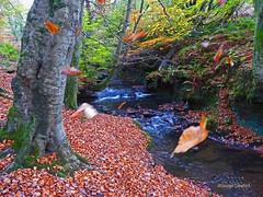 Kirktonhall Autumn (g crawford) Tags: autumn fall leaf leaves old golden tree burn stream brook beck river waterfall westkilbride ayrahire northayrshire seasons wood woodland forest glen kirktonhall kirktonhallglen crawford water