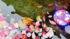 October 28, 2018 (Katsujiro Maekawa) Tags: seorak gapyeong korea 4seasons earth nature 설악 가평 한국 풍경 사계절 지구 자연 스마트폰 雪岳 加平 韓国 四季 地球 自然 スマホ light 光 빛 heavenlyparents trueparents ngc hometown 고향 故郷 smartphone flickrunitedaward aasia autumn leaves leaf autumnleaves color colorful water