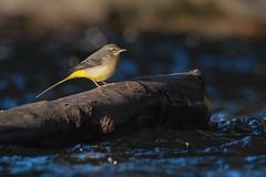 Gebirgsstelze 18007 (bertheeb) Tags: gebirgsstelze vogel singvogel nikon d750 500mmvr
