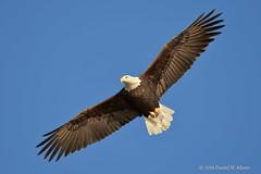 Bald Eagle in flight (danielusescanon) Tags: raptor flying bif baldeagle sewardhighway alaska haliaeetusleucocephalus accipitriformes accipitridae wild soaring