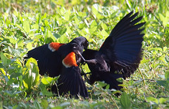 Red-winged Blackbird Death Match 11 (Kaptured by Kala) Tags: agelaiusphoeniceus redwingedblackbird blackbird maleredwingedblackbird whiterocklake dallastexas sunsetbay loud noisy closeup battle fighting territorial aggressive