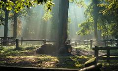 Bison @ Wildpark Dünnwald (Bow_Wazoo) Tags: bison wald wood gras park tierpark dünnwald alpha 7 sony sel85f18 sonnenschein