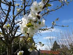 P1110825 (jlfaurie) Tags: primavera printemps fleurs flores jardin casa home cerezo rosado pink amapola poppies cherry poppy cerisier mechas mpmdf fleur spring jlfr jlfaurie lumix