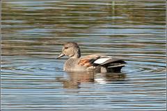 Drake Gadwall (Smudge 9000) Tags: 2018 anasstrepera birds drake gadwall groveferry wildlife canterbury england unitedkingdom gb