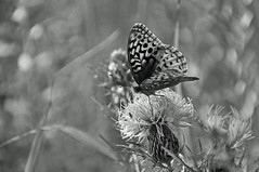 a memory of summer (christiaan_25) Tags: greatspangledfritillary speyeriacybele butterfly lepidoptera wings spots black insect thistle flower wildflower prairie nature sunlight blackandwhite bw monochrome