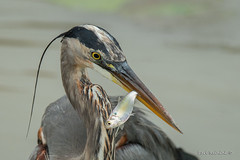 Gulp, this will not end well... (Earl Reinink) Tags: fish bird animal heron water greatblueheron beak earl reinink earlreinink ttdaoddaza