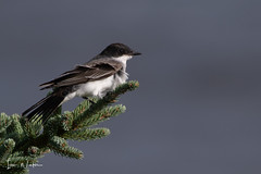 Eastern Kingbird-18-8 (Ian L Winter) Tags: birds easternkingbird ianwinter ianwinterphoto irishloop nature newfoundland www wwwianwinterphotocom