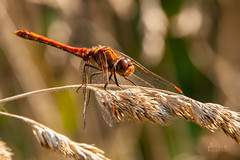Common darter dragonfly (DimitrisAnglesey) Tags: commondarter dragonfly insects uk wales anglesey wildlife animals