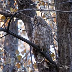 Great Horned Owl (dcstep) Tags: dsc0801dxo cherrycreekstatepark colorado usa aurora sonya9 fe100400mmf4556gmoss nature urban urbannature allrightsreserved copyright2018davidcstephens dxophotoab