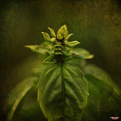 Basil (MBates Foto) Tags: availablelight basil botanicals closeup color daylight existinglight flora floral garden green herbs macro nikkorlens nikon nikond810 nikonfx outdoors plant textures spokane washington unitedstates 99203