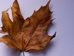 Crinkly sycamore leaf (boslater) Tags: leaf sycamore autumn macromondayscrinkled wrinkled foldedorcreased