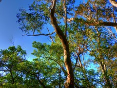 Australian forest talls III (elphweb) Tags: hdr highdynamicrange nsw australia forest bush tree trees wood woods spottedgum spottedgums spottedgumtrees