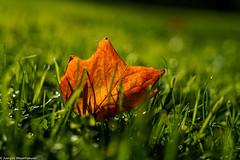 #Flickr Friday - #Orange - Color of autumn (J.Weyerhäuser) Tags: stadtpark wabisabi vhs flickrfriday orange blatt wiese gegenlicht herbst autumn