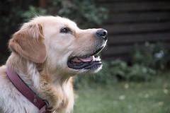 Golden Retriever Happy (stan.picsvisual) Tags: golden retriever labrador dog doge animal animals portrait chien female de compagnie pelouse happy smiling smile sourire